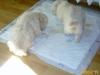 Miot na B 2 jasne szczeniaki (nauka czystości)